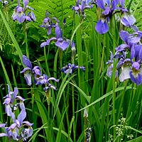 Цветущие растения для пруда и его берегов